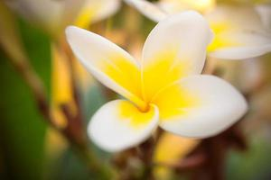 Tropical white flower frangipani (plumeria