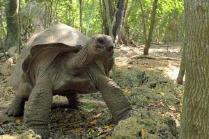Aldabra giant tortoise between the trees