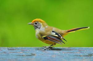Chestnut-tailed Siva bird