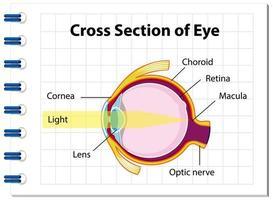Anatomía del ojo humano con sección transversal del diagrama del ojo vector