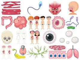 Set of human inner organs isolated on white background vector