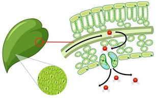 Diagram showing leaf cell on white background vector