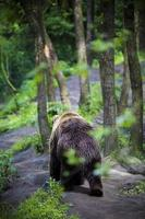 Grizzly bear walking in a forest
