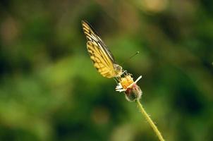 mariposa amarilla en una flor