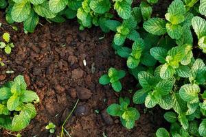 Fresh mint growing in a garden