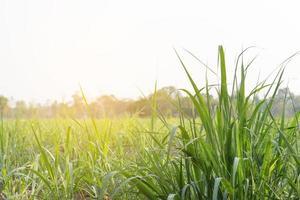 campo de caña de azúcar durante el día