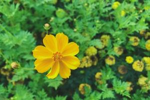 Top view of yellow cosmos flowers