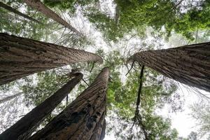 Redwoods from below