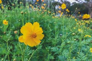 Yellow cosmos flowers in a garden