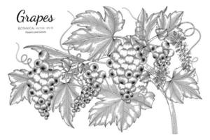 Hand drawn grape line art branches vector
