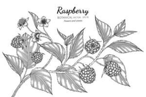 Hand drawn raspberry branches line art vector