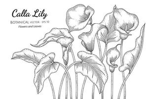 Calla Lily flower and leaf hand drawn, botanical line art