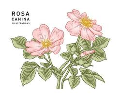 rosa perro rosa o rosa canina flor ilustraciones botánicas. vector