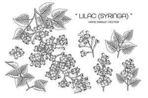syringa vulgaris o vector de elementos de dibujos de flores lila común.