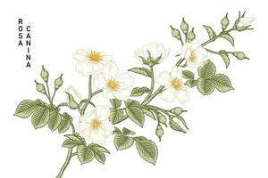 White Dog rose or Rosa canina flower drawings vintage stlye. vector