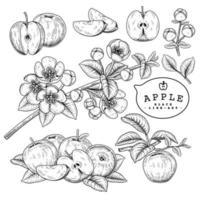 Apple fruit botanical drawings. vector