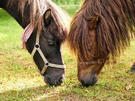 Quebec, Canada, June 14, 2015 - Two horses eating grass