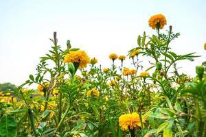 Yellow marigold field