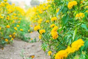 Yellow flowers in a garden photo