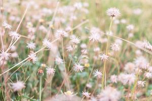 White dandelions in a field