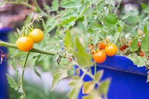 Fresh tomatoes outside