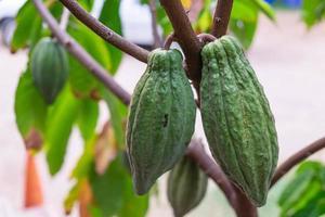Fresh cocoa fruit outside