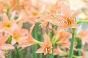 Orange amaryllis flowers