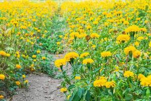 Walking path through yellow flowers photo