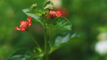 Red milkweed flowers
