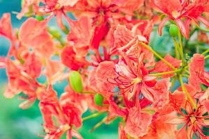 Close-up of red royal poinciana flowers