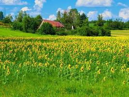 Ulverton, Quebec, Canada, August 15, 2020 - A sunflower field in the countryside