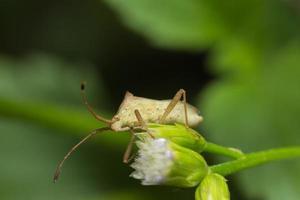 Insecto asesino marrón en una flor