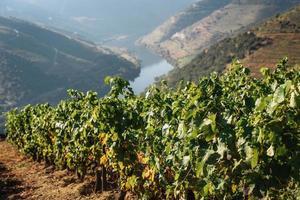 viñedos en el valle del douro, portugal