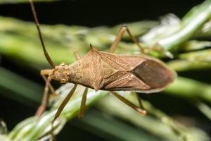 Insecto asesino marrón en una planta