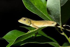 camaleón en el árbol, primer plano