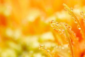Water drops on orange flower petals, close-up