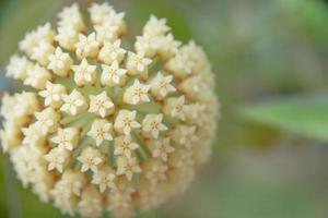 primer plano de la flor de hoya blanca