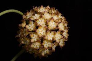primer plano de flor de hoya