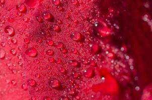 Water drops on a red rose