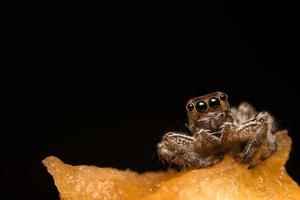 primer plano de la araña hyllus