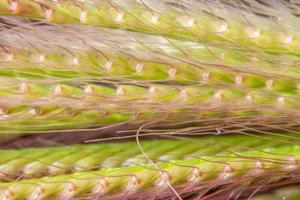 Grass flower macro
