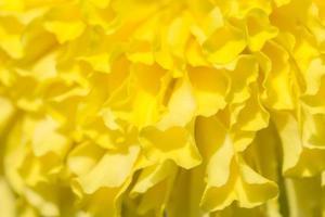 fondo de flor de caléndula amarilla