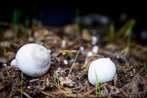 Two white mushrooms