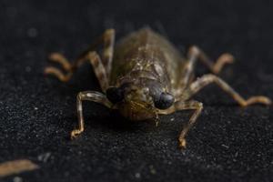 Dragonfly larvae on black background photo