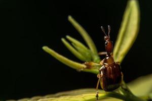 insecto curculionoidea en una hoja foto