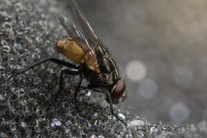 primer plano de mosca dípteros