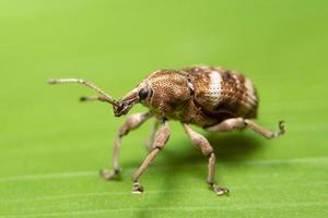 escarabajo de hoja macro foto