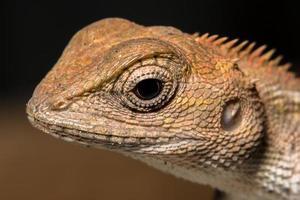 camaleón, foto de primer plano
