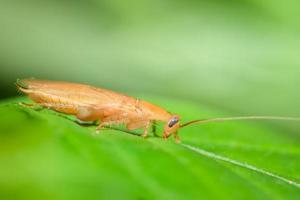 German roach on a leaf