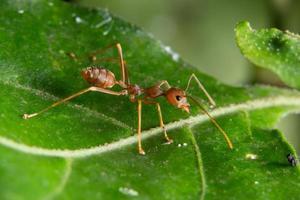hormiga roja en una hoja